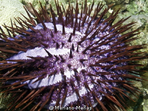Acanthaster planci
